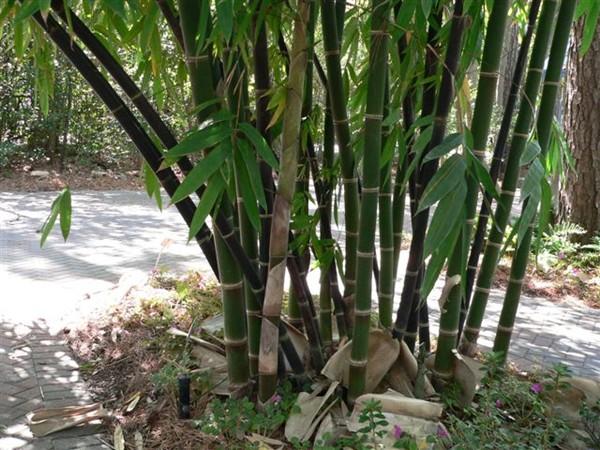 Resultado de imagem para bambu simpodial